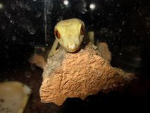 gecko Stockfotos