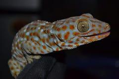 gecko Fotografering för Bildbyråer