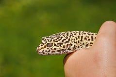 gecko arkivbilder