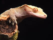 gecko Stock Foto