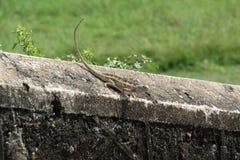 gecko royalty-vrije stock afbeelding