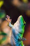 gecko photographie stock libre de droits