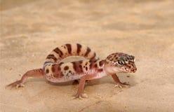 gecko Стоковые Изображения RF