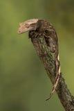 gecko Royaltyfria Foton