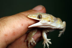 Gecko. Tropical house gecko biting a finger stock photos