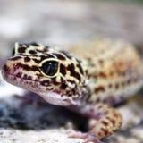 Gecko adulto del leopardo Immagini Stock