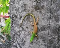 Gecko Aesthetic royalty free stock images