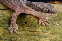 Gecko africano del velluto immagini stock libere da diritti
