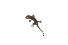 Gecko aislado en blanco Imagen de archivo libre de regalías