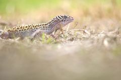 Gecko, animal, reptile, faune, nature, image stock