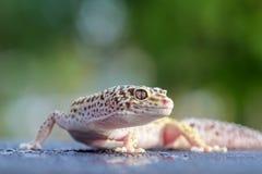 Gecko, animal, reptile, faune, nature, photo libre de droits