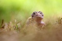 Gecko, animals, macro, bokeh, insect, nature, Royalty Free Stock Image