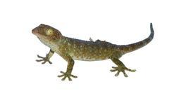Gecko, appelle le gecko d'isolement sur le fond blanc images libres de droits