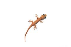 Gecko asiático australiano de la casa Fotografía de archivo