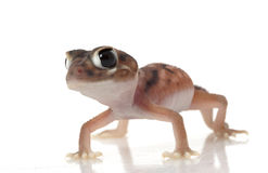 Gecko atado botão de Pernatty fotografia de stock royalty free