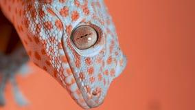 Gecko auf der orange Wand stock footage