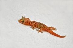 Gecko auf der weißen Wand Stockbilder