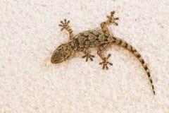 Gecko auf einer Wand in Spanien Stockfotografie