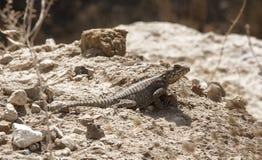 Gecko auf grauen Steinen an einem sonnigen Tag stockbild