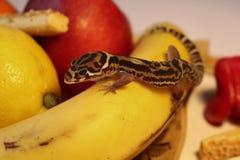 Gecko auf Lebensmittel - Coleonyx mitratus Geckofrau auf Frucht stockbild