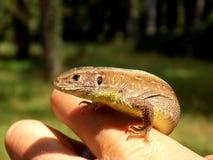 Gecko auf menschlicher Palme Lizenzfreie Stockbilder