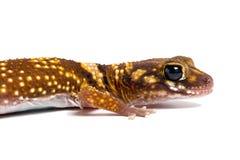 Gecko australien d'écorcement (Underwoodisaurus Milii) image libre de droits