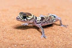 Gecko australien d'écorcement (Underwoodisaurus Milii) photographie stock