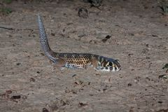 gecko aux yeux de grenouilles, scincus de Teratoscincus, Kazakhstan du sud Photo libre de droits
