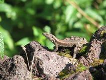Gecko in Azzorre Immagini Stock