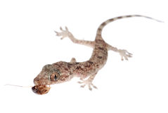Gecko babe eat roach isolated Stock Image