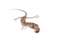 Gecko babe eat roach isolated Stock Photos