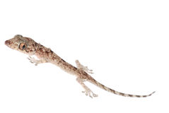 Gecko babe isolated Royalty Free Stock Photo