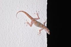 Gecko on the background of white wall Stock Photo