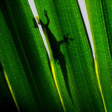 Gecko on backlit palm tree leaf Royalty Free Stock Photos