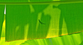 Gecko on a Banana Leaf Stock Photo