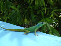 Gecko Barbados Fotografering för Bildbyråer