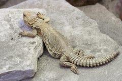 Gecko beige de léopard s'élevant sur des dalles de pierre grisâtre photo libre de droits