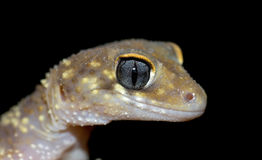 Gecko on black Royalty Free Stock Photography