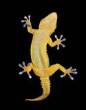 Gecko on black background Royalty Free Stock Photo