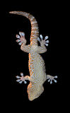 Gecko on a black Stock Images