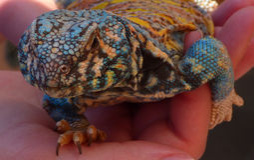 Gecko bleu et jaune Photos libres de droits