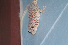 Gecko with blue and red color Royalty Free Stock Image