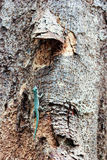 Gecko. Blue Gecko on a tree in the wild. North of Madagascar Royalty Free Stock Image