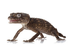 Gecko Botão-atado áspero espinhoso foto de stock