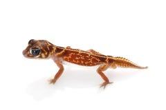 Gecko Botão-atado Midline foto de stock royalty free