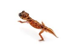 Gecko Botão-atado Midline imagens de stock royalty free