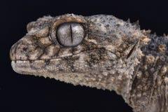 Gecko bouton-coupé la queue épineux, asper de Nephrurus Image libre de droits