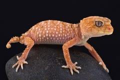 Gecko bouton-coupé la queue rugueux (amyae de Nephrurus) images stock