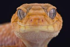 Gecko bouton-coupé la queue rugueux (amyae de Nephrurus) photographie stock