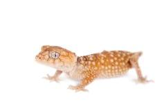 Gecko Bouton-coupé la queue rugueux sur le blanc image libre de droits